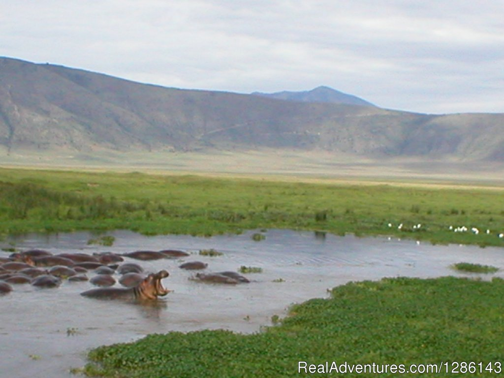 Hippos at Ngoitokitok Spring, Ngorogoro | Image #4/13 | Safari, Maasai Development Project