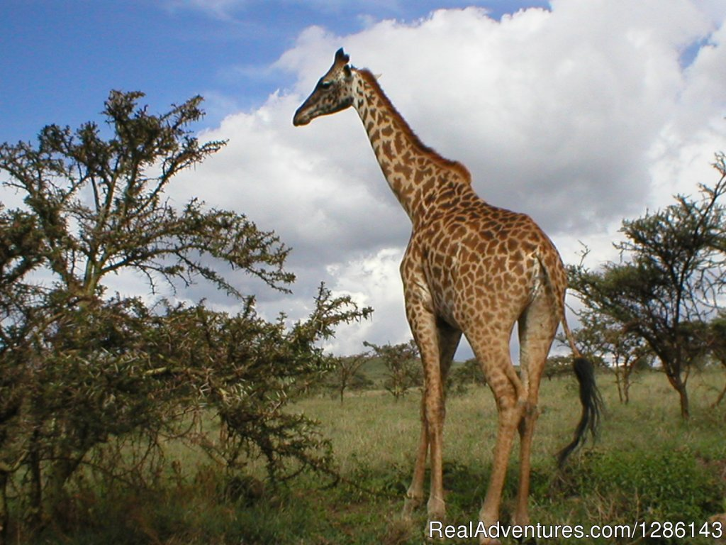 Giraffe - Lake Manyara | Image #2/13 | Safari, Maasai Development Project