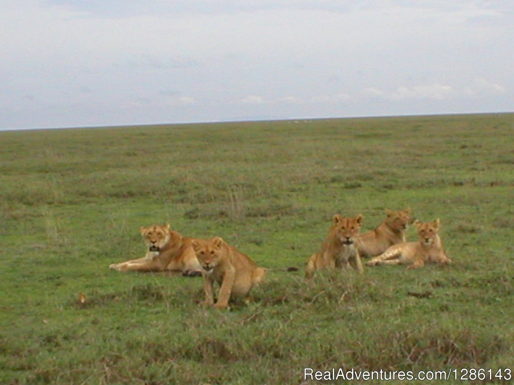 Lions in Ngorogoro | Image #7/13 | Safari, Maasai Development Project