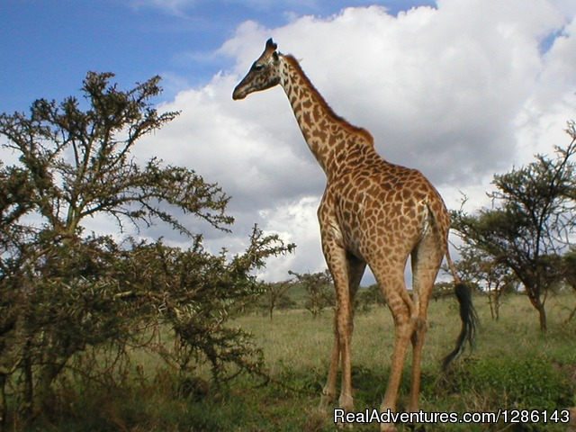 Giraffe - Lake Manyara - Safari, Maasai Development Project