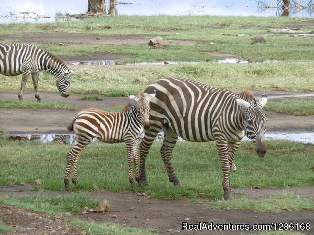 Zebras wondering around the Lake (Lake Nakuru) - Budget Holiday Safari in Kenya