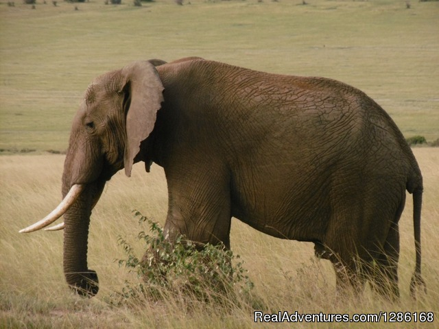 The African elephant in Masai Mara - Budget Holiday Safari in Kenya