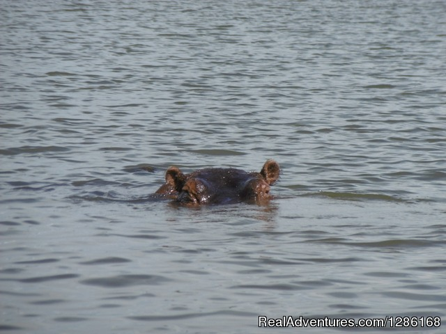 The hippo in Lake Naivasha - Budget Holiday Safari in Kenya