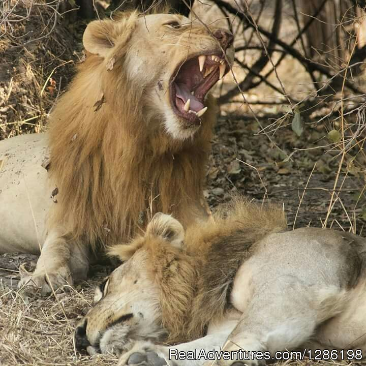 Lions | Image #2/8 | Migration Safaris In Tanzania 10 Days / 9 Nights