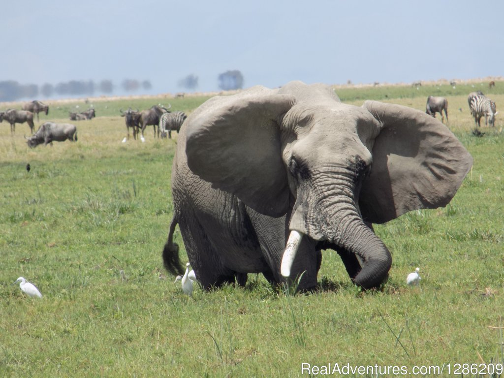 Game drive in Amboseli National Park | Image #5/19 | 5 Days Kenya Budget Safari Maasai Mara & Amboseli