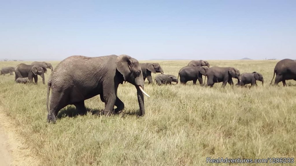 Herd of elephants | Image #7/13 | Tanzania Wildebeests Migration Safari July 2019