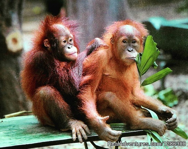 Borneo wild Orangutan Tour
