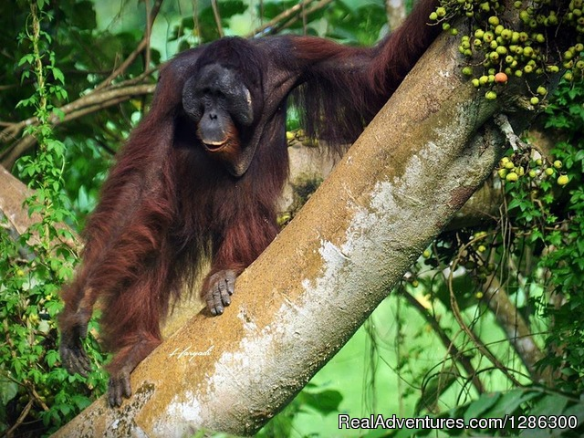Orangutan is Looking for fruit - Borneo wild Orangutan Tour