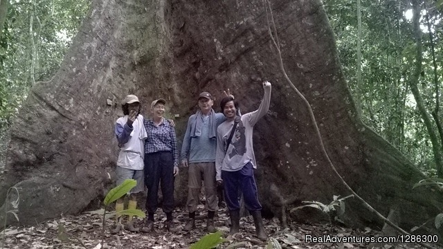 Huge tree in jungle - Borneo wild Orangutan Tour