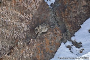 Snow Leopard Expedition Wildlife & Safari Tours Ladakh, India