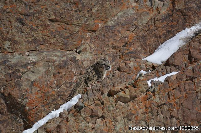Shaan : The White Ghost - Snow Leopard Expedition