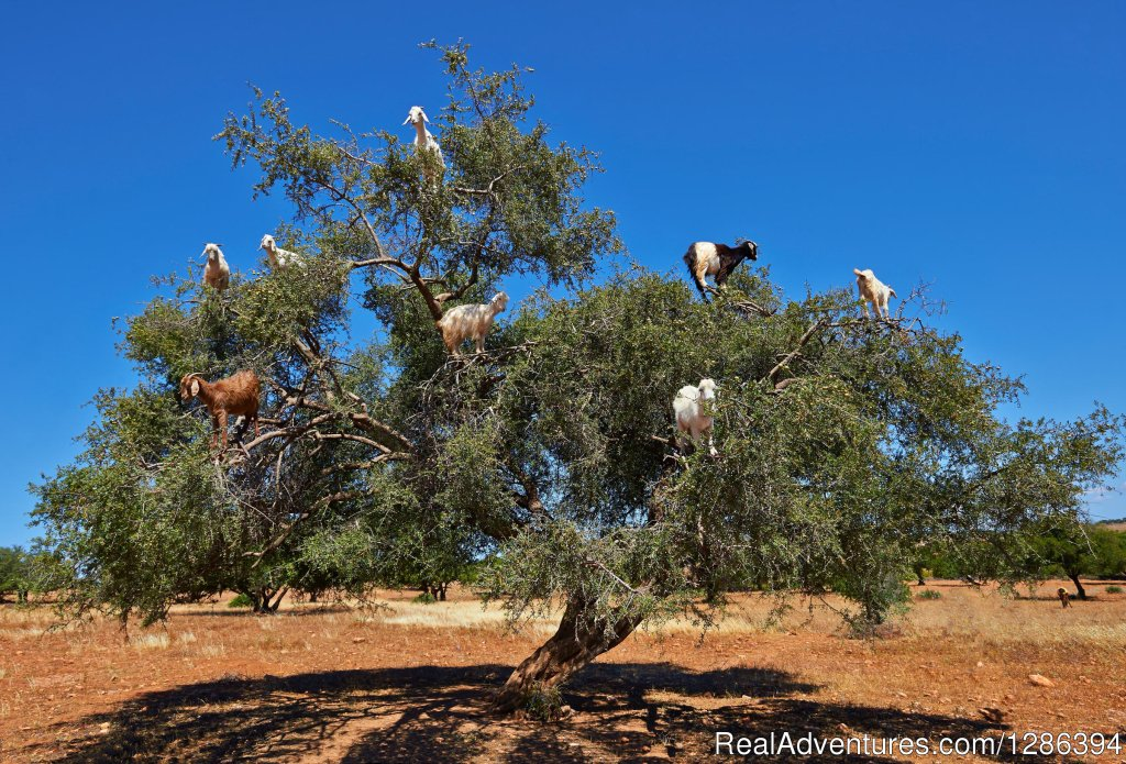 Goats in argan trees | Image #25/26 | Camel Tours Morocco