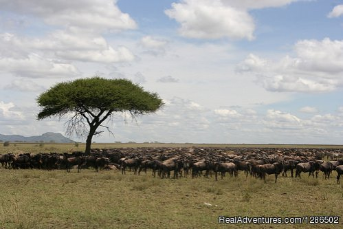Wildebeests, Serengeti National Park | Image #2/20 | Pure Wildness Tanzania