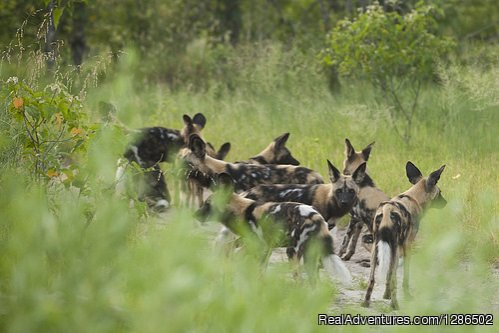 Wild Dogs, Ruaha national Park | Image #18/20 | Pure Wildness Tanzania