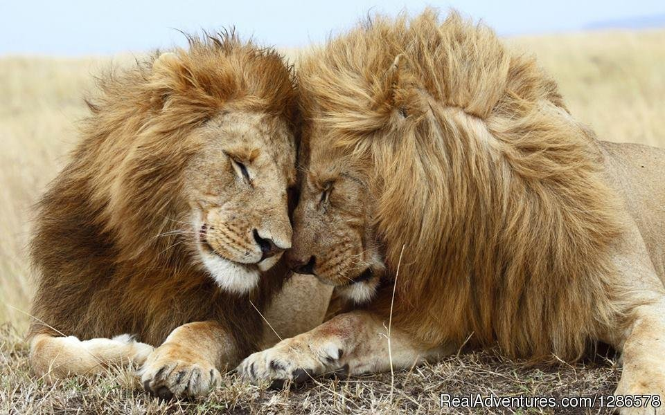 Lion King brothers cudling | Image #2/2 | Adventure Safari Bookers