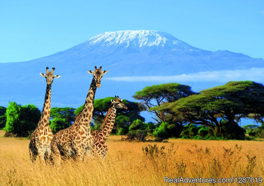 Read Tanzania safari booking ideas and Mount Kilimanjaro climbing travel tips. Information for Kilimanjaro trekking preparations, best time for wildlife safari tours is provided for free. Contact your reliable DMC tour Kilimanjaro Tanzanite Safaris