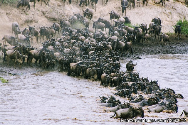 Wildebeests Migration - Wonderful Safari Experience in Masai Mara Kenya