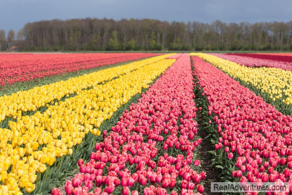 Tulip Fields | Image #5/8 | Unforgettable daytrips from Amsterdam