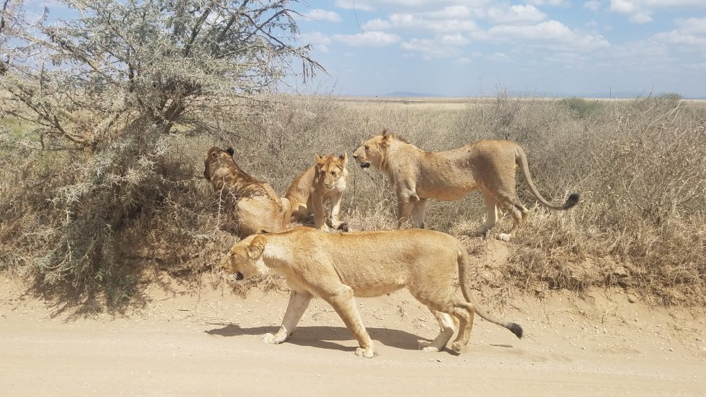 Lionesses | Image #4/7 | 4 Days- Camping Safari-- Group Joining Tour/