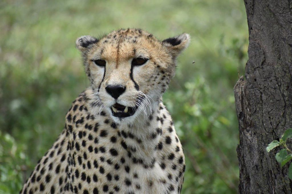 Cheetah | Image #7/7 | 4 Days- Camping Safari-- Group Joining Tour/